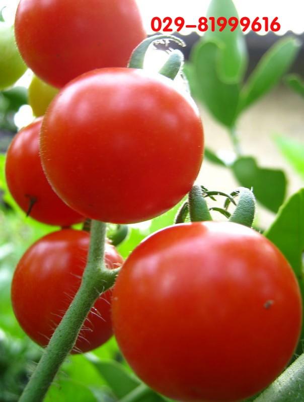 保健原料番茄红素