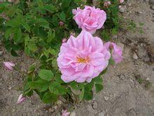 莎佛100%纯天然大马士革玫瑰精油 淡化疤痕抗敏美白