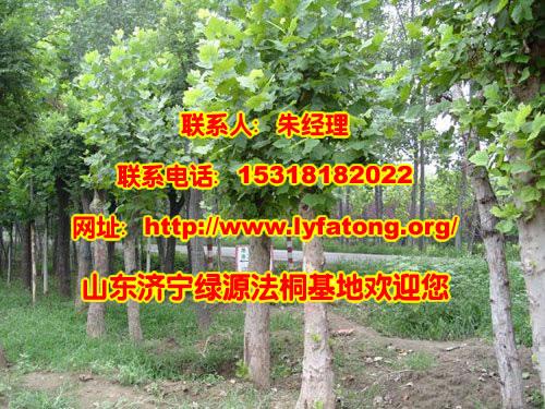 法桐树生长习性|法桐树什么时候落叶-济宁绿源法桐苗木基地