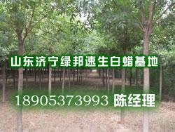 成都市速生白蜡= 成都市白蜡树价格