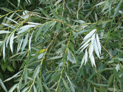 厂家供应白柳皮提取物 水杨甙salicin