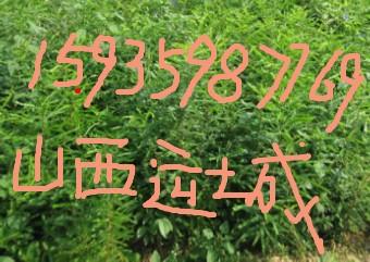 山西皂角苗//百万皂角苗