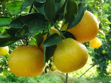 工厂生产供应柚皮甙naringin