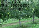 5公分苹果树5公分柿子树5公分山楂树