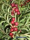 山西钙果苗,中华钙果苗,优质的钙果苗