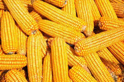 采购玉米 小麦