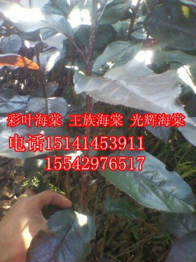 老百姓紫叶海棠基地的形象照片