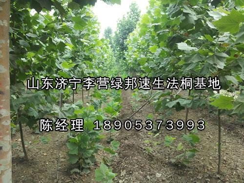 法国梧桐价格,速生法桐苗扦插技术,改良法桐的特点-山东绿邦苗木