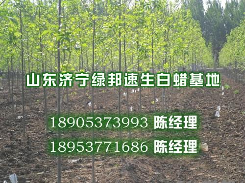 邯郸速生法桐,1米速生白蜡价格,法桐的种籽方法,速生国槐树苗
