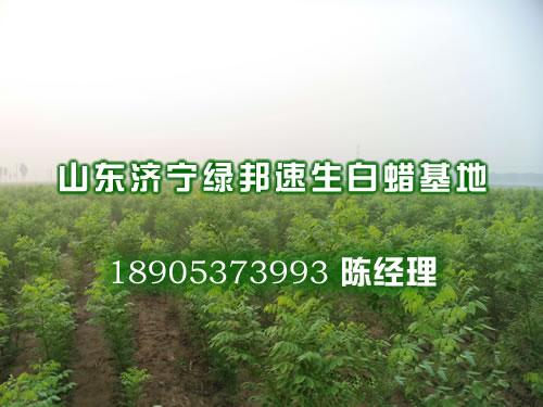 法桐播种育苗,速生国槐价格,法桐树苗价格,3公分白蜡苗价格