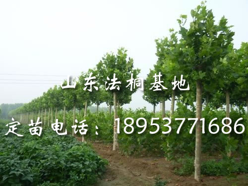 法桐种子,速生国槐小苗,法桐移植最佳时间,白蜡