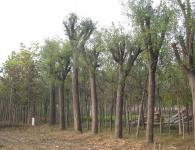 合欢树美观、生命力强、价格低
