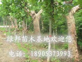 白蜡之乡-25公分法国梧桐-速生国槐价格-平度有法国梧桐树-济宁
