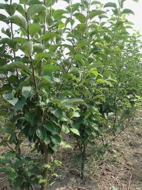 123苹果树、寒富苹果苗、北美系列海棠苗,西伯利亚红海棠苗。