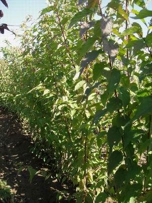 山杏小苗,寒富苹果苗,光辉海棠苗,花葱小苗及种子
