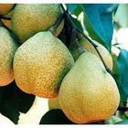 供应梨树苗品种梨树苗价格