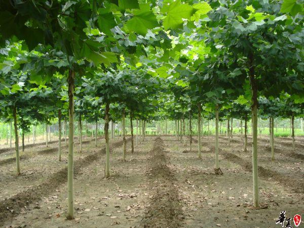 大量提供白蜡苗、法桐苗、国槐苗