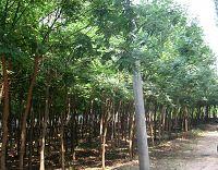 垂柳和国槐-第一苗木垂柳厂家供应