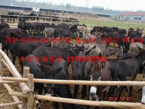 肉驴,肉驴养殖,肉驴价格,养驴赚钱吗,德州驴,肉驴品种,养驴场