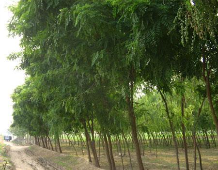 第一苗木供应大量刺槐树苗