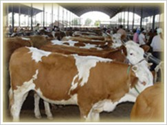 发家致富养殖西门塔尔牛、生长快利润大