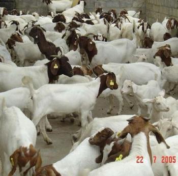 肉羊、商品肉羊育肥