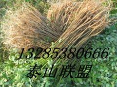 花椒苗价格 13285380666