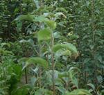 特价供柿子苗|柿子树|嫁接的柿子苗