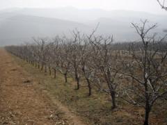 低价出售3-10公分苹果树 核桃树 枣树 山楂树 柿子树 梨树