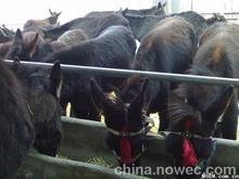 肉驴的养殖技术