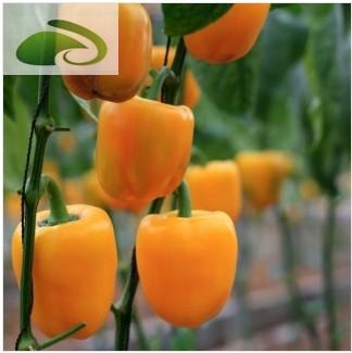 观赏食用南瓜椒种子