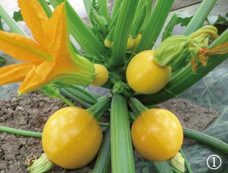 金珠西葫芦种子 香蕉西葫芦种子