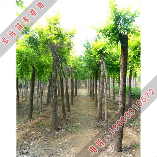 泓远绿化苗木基地-供应金叶榆-金叶榆价格-金叶榆小苗