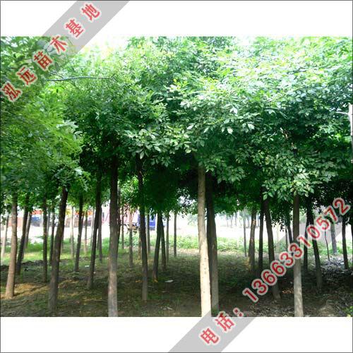 白蜡小苗-白蜡树价格-泓远绿化苗木基地出售白蜡树苗