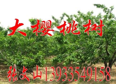 柳树,河北柳树,速生柳价格,垂柳报价