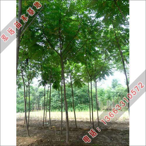 优质火炬树-火炬树价格-泓远出售火炬树-火炬树小苗