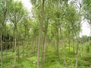 供应品种齐全的柳树