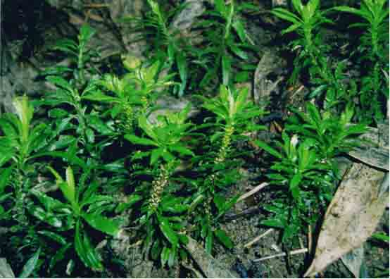 石杉碱甲98%|咖啡酸|土大黄提取物|水飞蓟宾