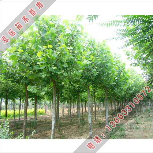 优质法桐小苗-法桐价格-速生法桐-泓远绿化苗木基地