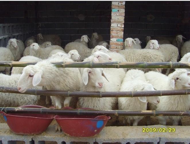 天气凉了,小尾寒羊养殖技术需要改进了