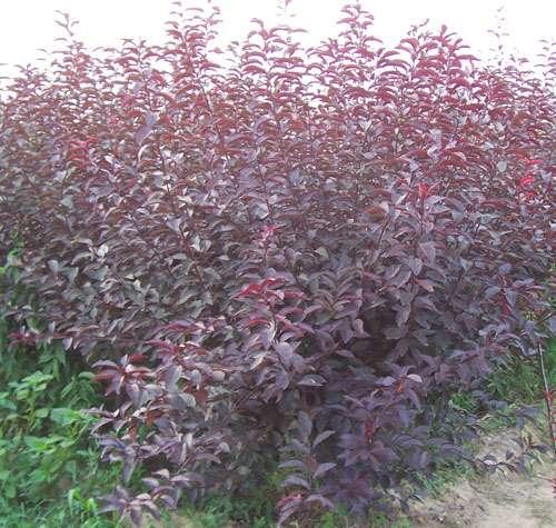 河北丛生紫叶矮樱供应价格