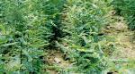 供应山西皂角苗,皂角树,药用皂角苗