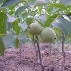 供应山西核桃苗,核桃树,嫁接的核桃苗
