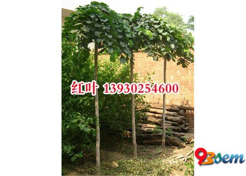 2--8公分榆树