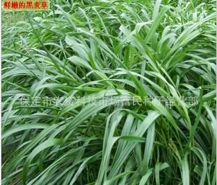 黑麦草牧草种子