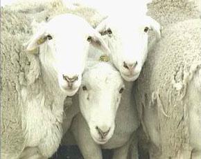万家牛羊养殖基地供应良种波尔山羊