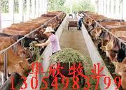 怎么养西门塔尔牛、夏洛莱牛、改良牛