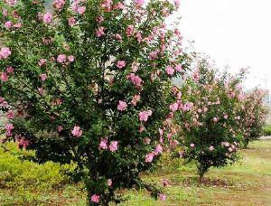 昌盛苗木基地为您提供优质的木槿