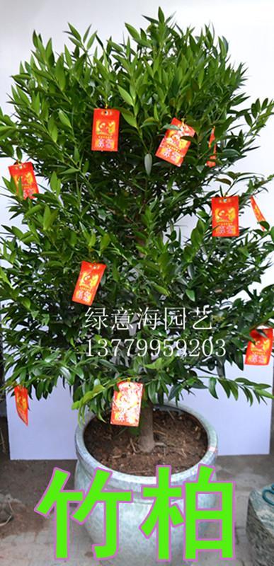 春节送礼盆栽竹柏