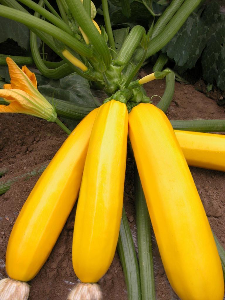特菜西葫芦种子批发,金蜡烛西葫芦种子/黄色长西葫芦种子销售
